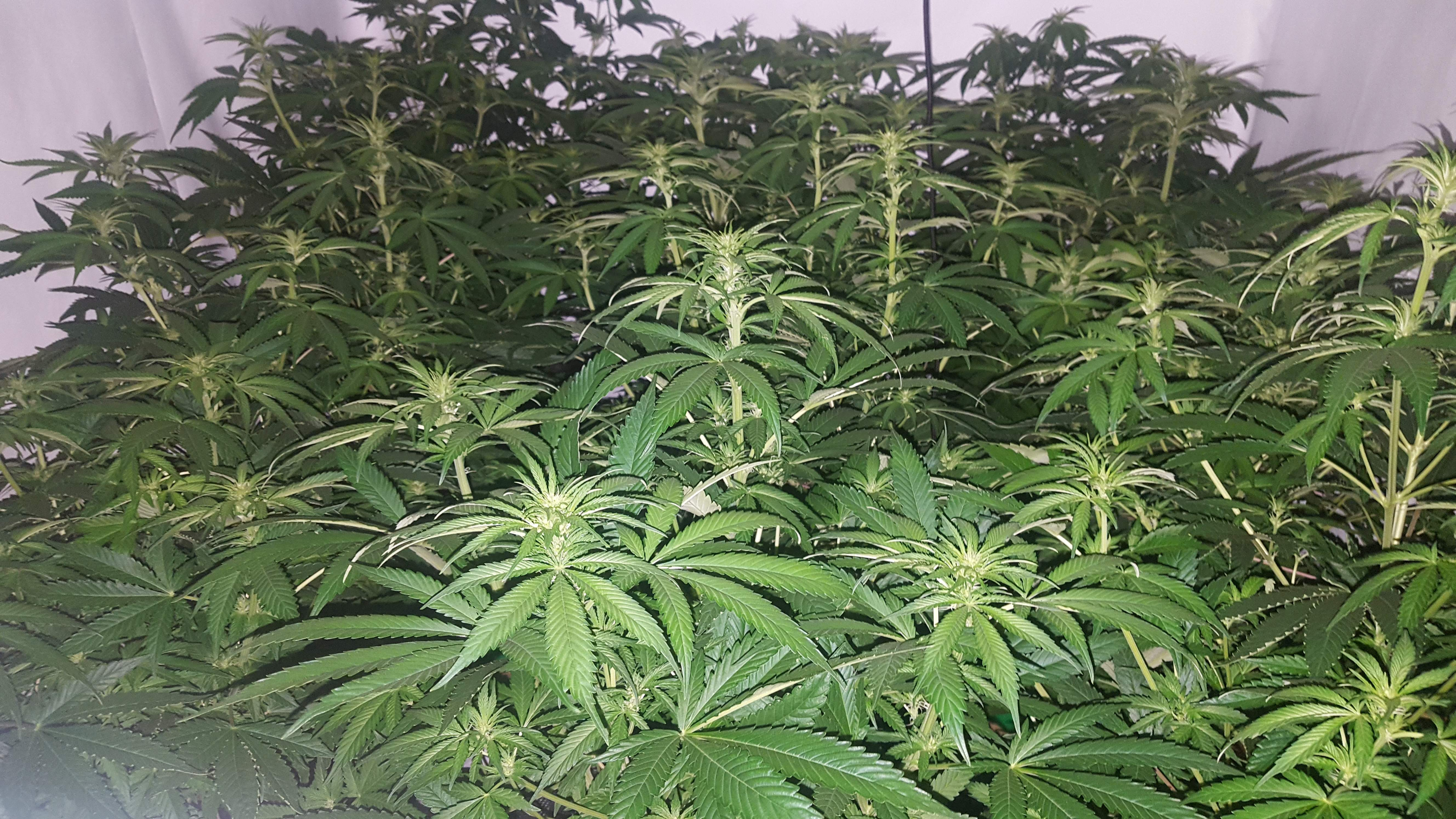Female Seeds White Widow X Big Bud Grow Journal Week4 By
