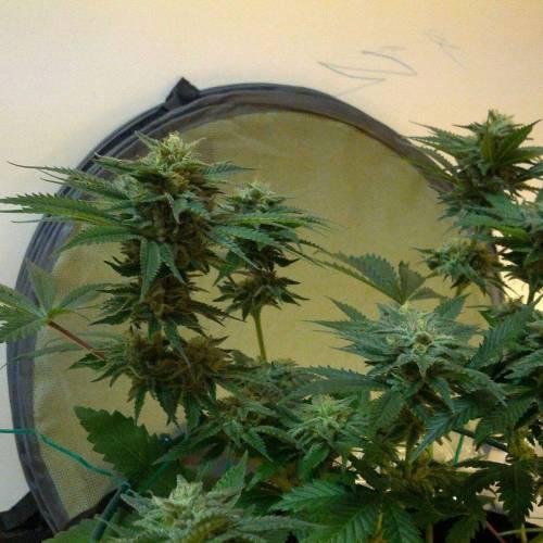 8 Plants: 4 Strains + 1 Unknown week 9.