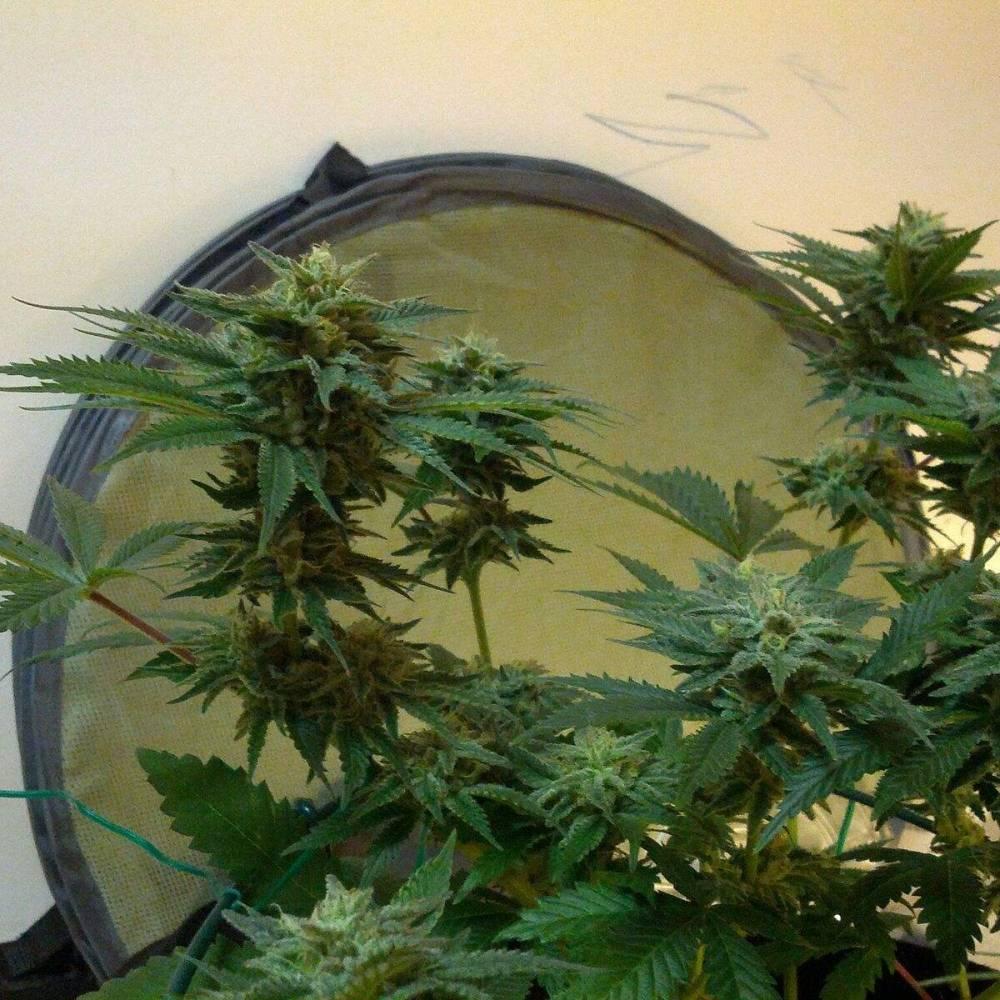 8 Plants: 4 Strains + 1 Unknown week 9