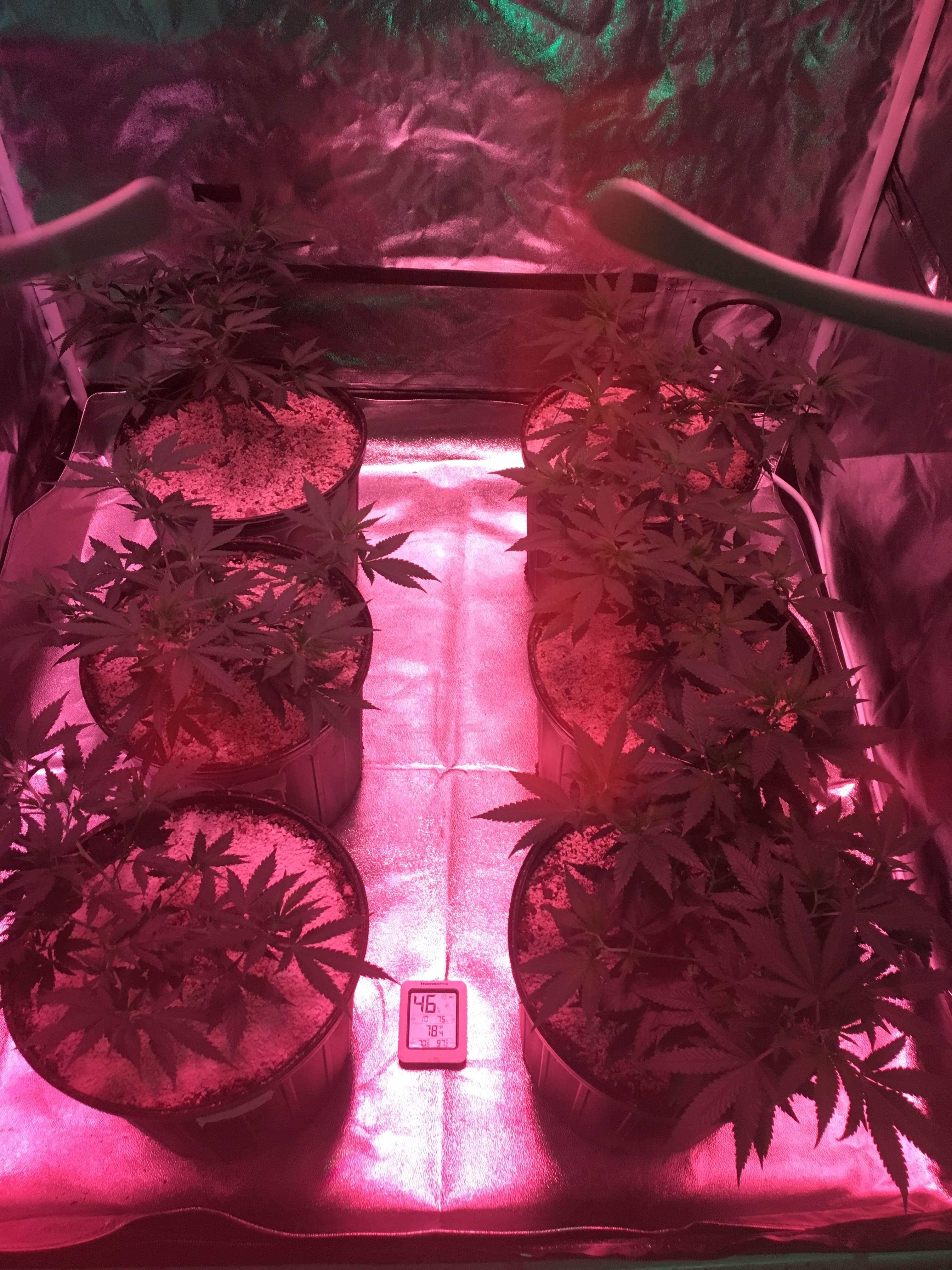 Day 1 in new tent will veg for one week here before Flower & Strawberry Kush 3 marijuana journal week10 by Fun_Growin - GrowDiaries