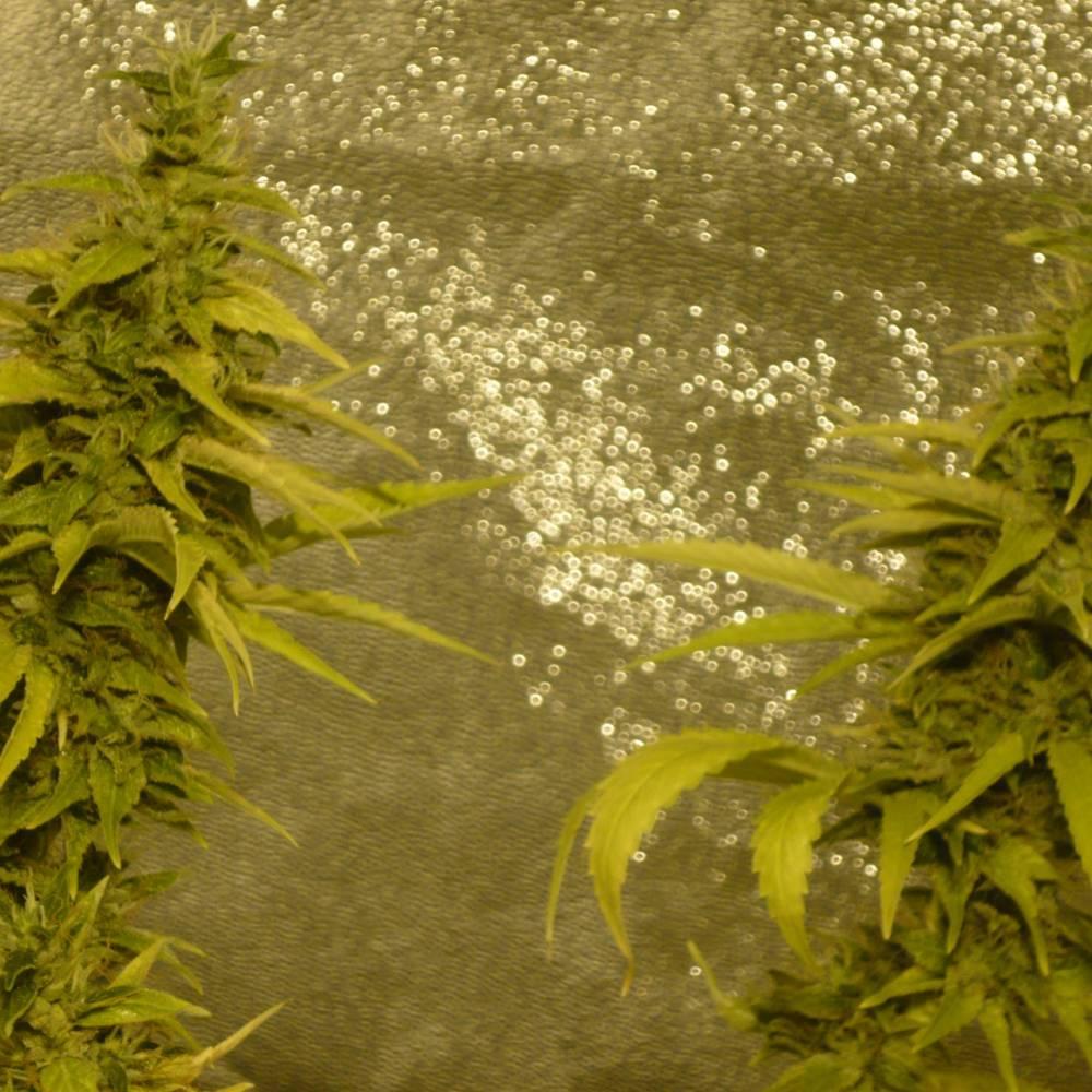 Spliff Seeds Afghan week 16