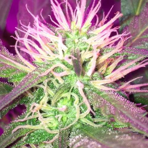 Seedstockers Big Bud Autoflower Grow Journal Week6 By