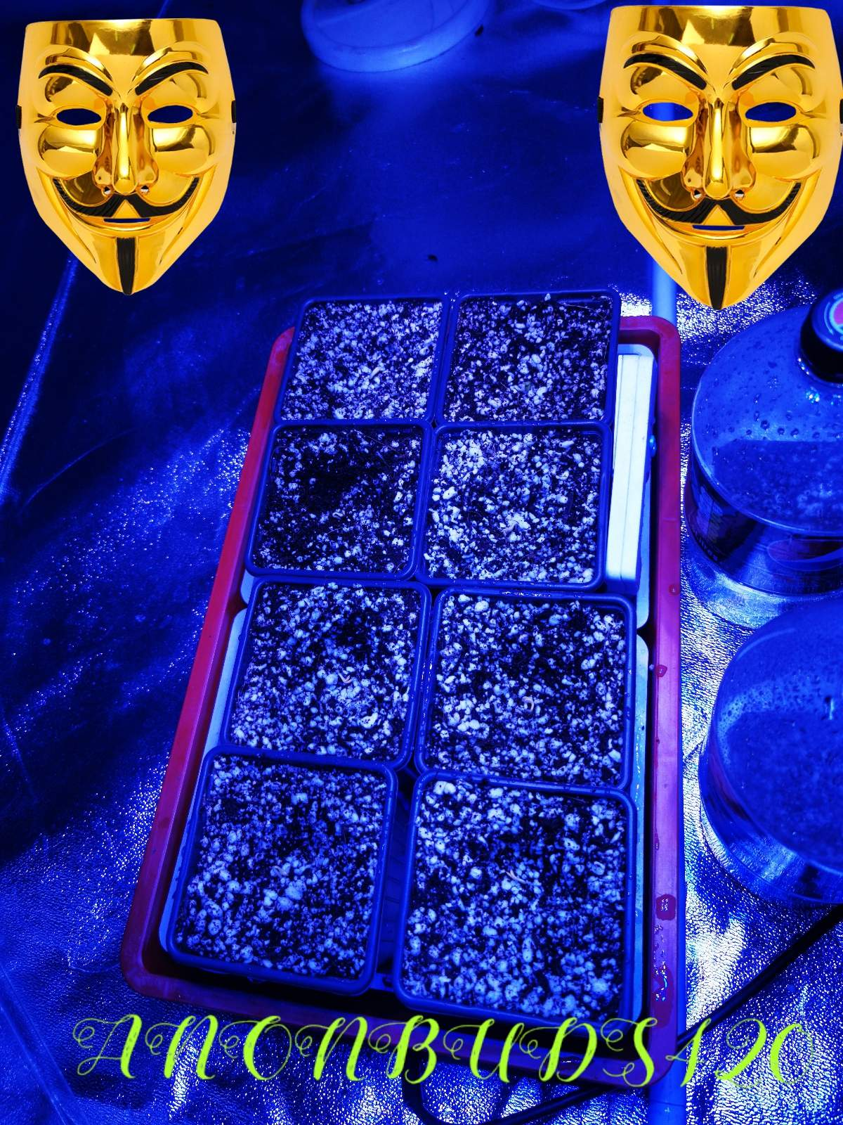 Royal Queen Seeds Royal Highness Grow Journal Week1 By