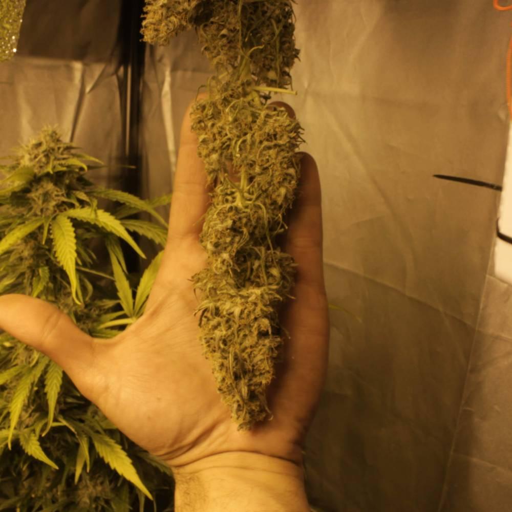 Greencrack week 13. Half top bud