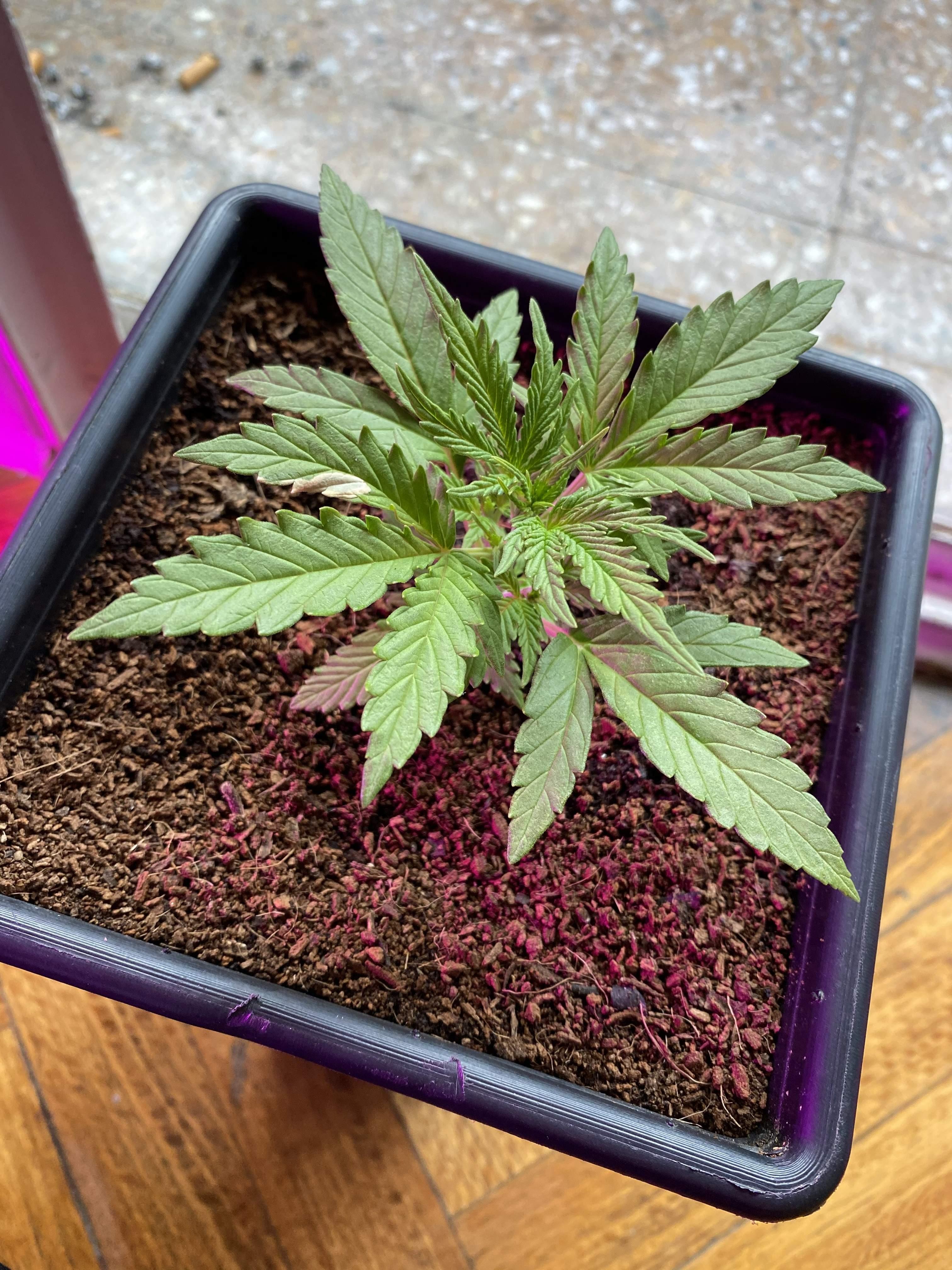 Bsf Seeds Orange Blossom Xxl Auto Grow Journal Week3 By Chronigmatic Growdiaries