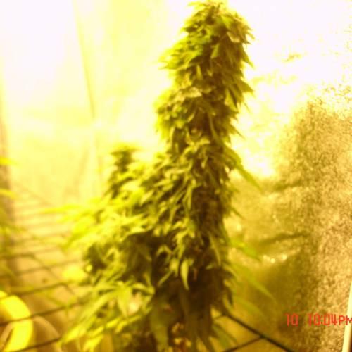 mix grow week 12. White island
