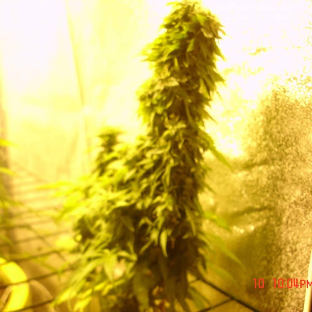 mix grow week 12 White island