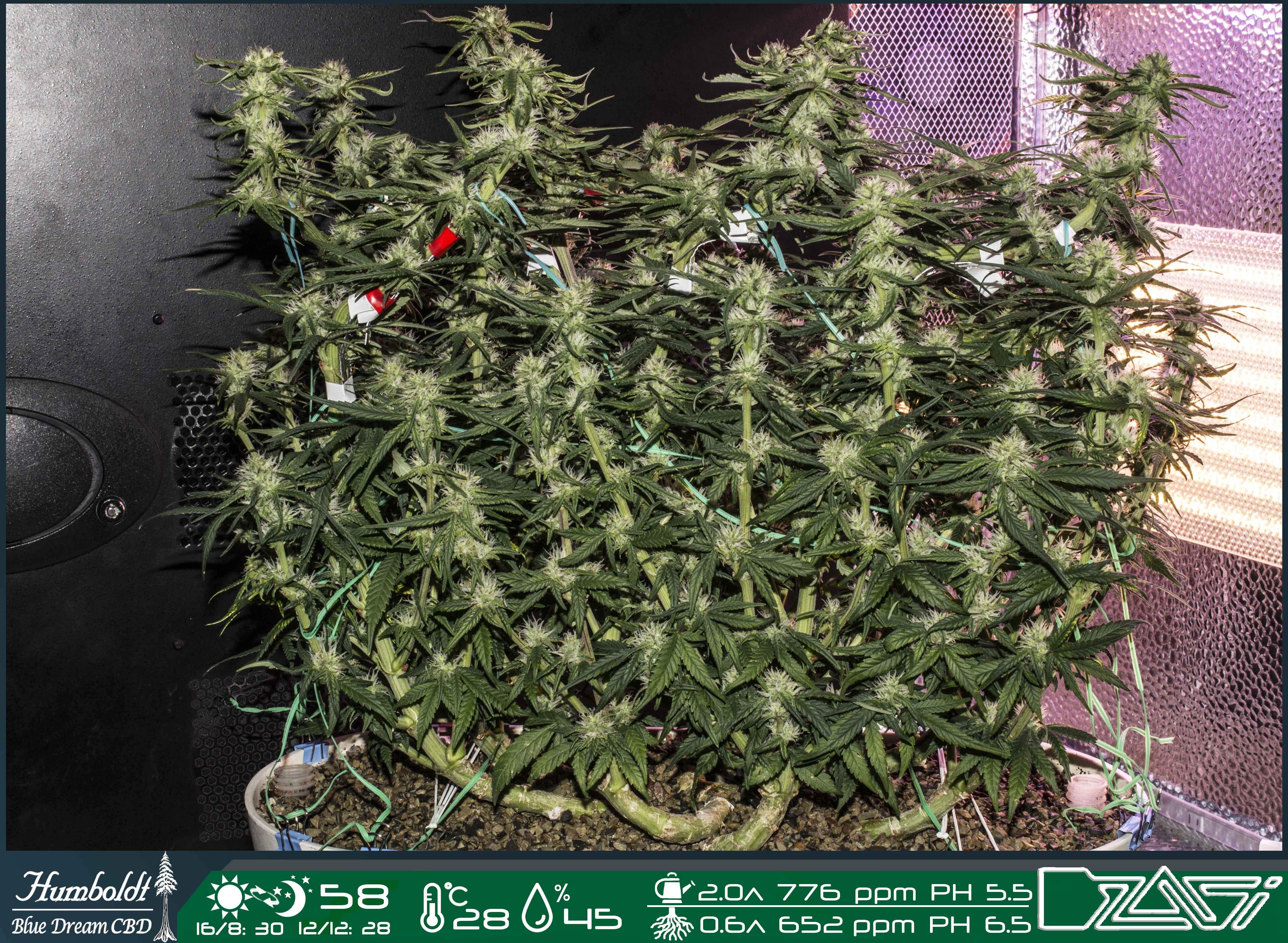 Humboldt Seeds Blue Dream CBD grow journal week9 by